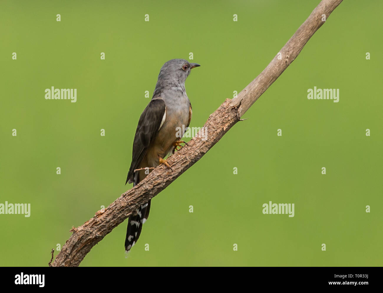 plaintive cuckoo : Cacomantis merulinus) on banch with green background. - Stock Image