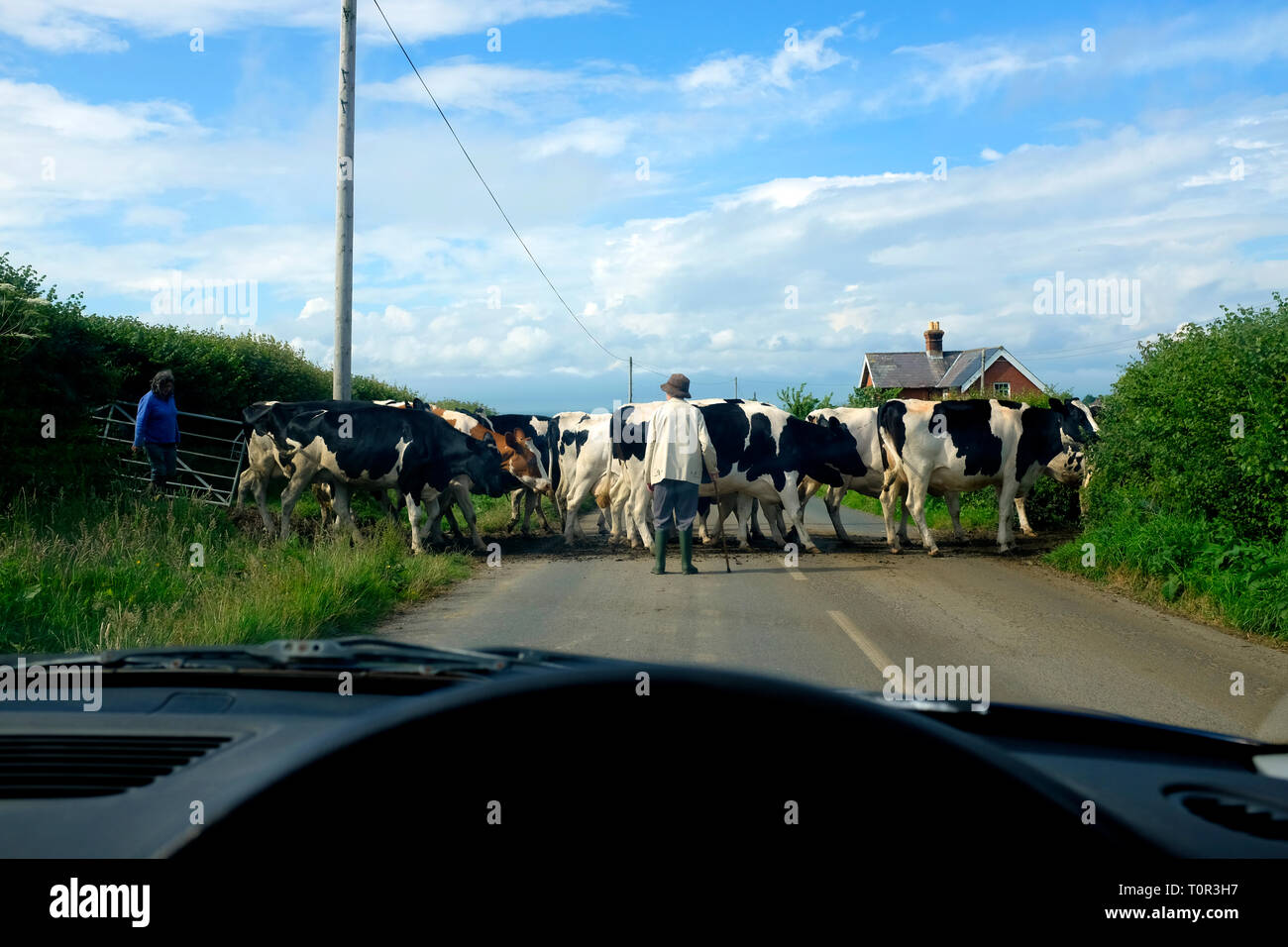 farmers,herding,dairy,cattle,across,road,to,farm,cows,cattle,Fresian,view,from,car,dashboard,Gurnard,Isle of Wight,England, UK, - Stock Image