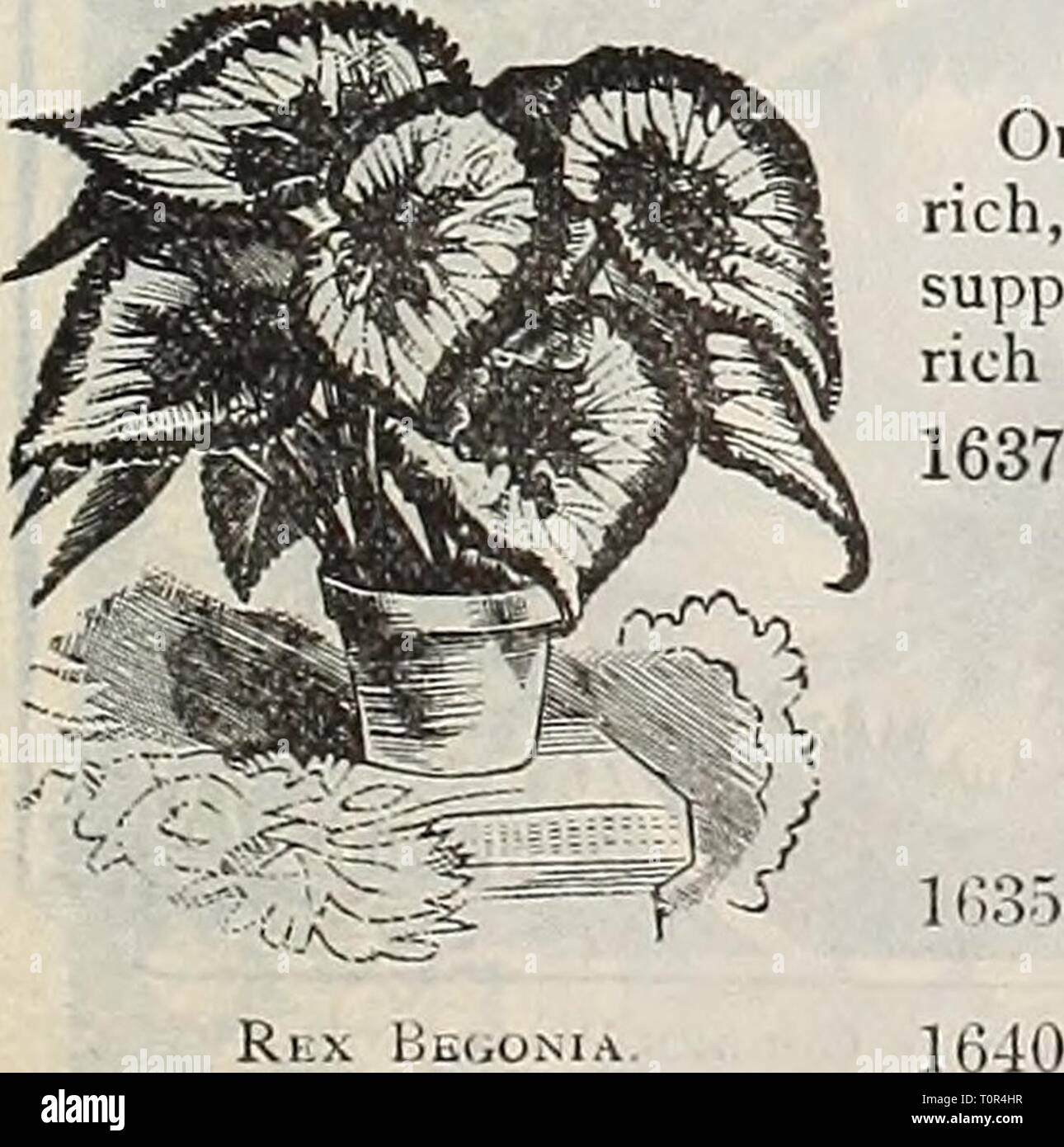 Dreer's 1901 garden calendar (1901) Dreer's 1901 garden calendar  dreers1901garden1901henr Year: 1901  BRYONOPSIS. 1641 Laciniosa. A beautiful annu.d climber of the gourd species, with ivy- like pale green foliage and showy fruit, first green striped w hite, turning, when ripe, to brighi scarlet striped white ; 10 feet. (See cut.) Brovvallia Spfxiosa Major. 0LD=FASH10NED FLOWERS. We offer collections of seed of both annual and per- ennial old-fashioned flowers on page 58. For index of Common or English names of Flowers, see page 100. ORNAMENTAI^-I^EAVED BEGONIA. per pkt 1566 Hex Hybrids. Beaut - Stock Image