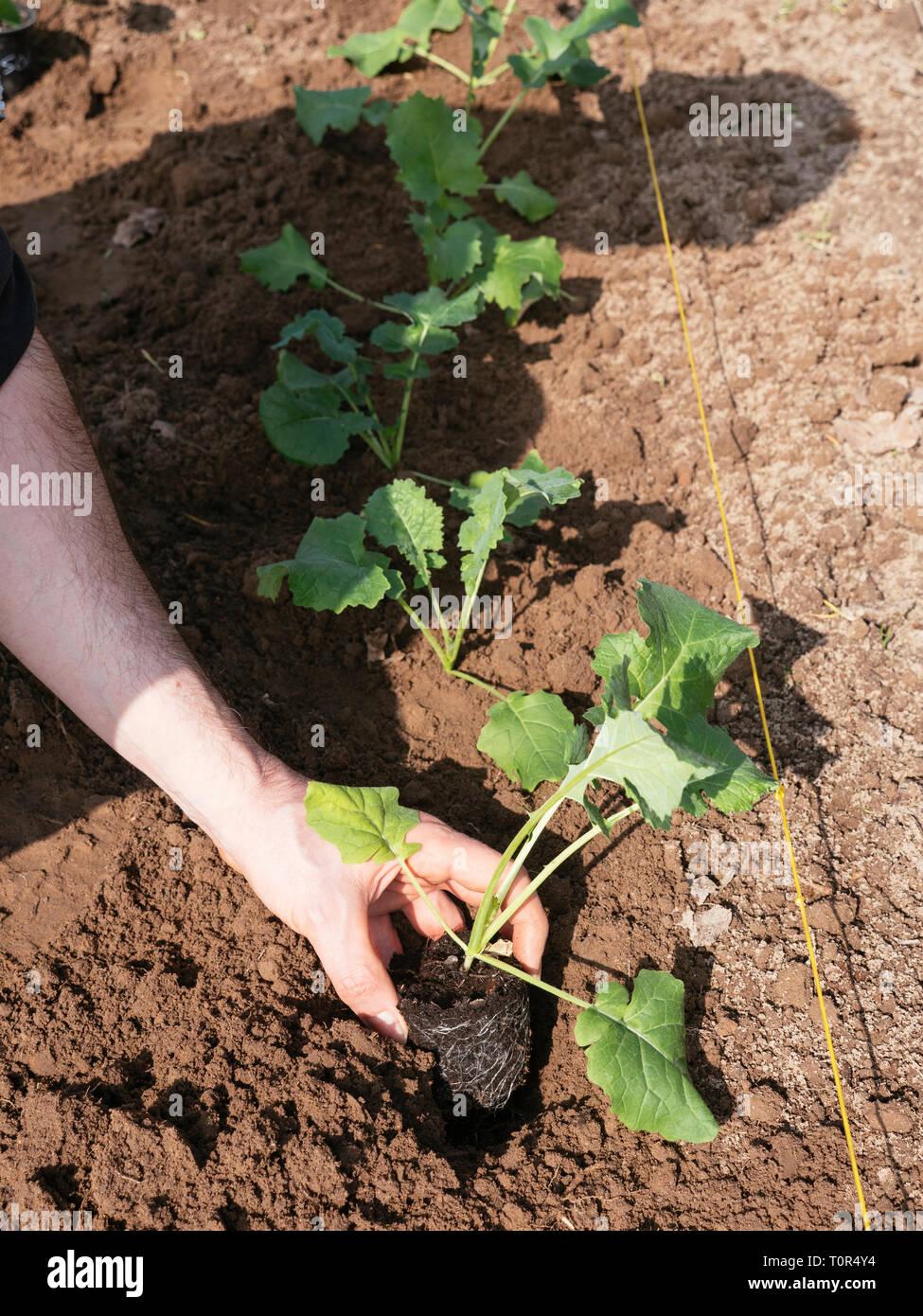 Siberian kale (Bremer Scheerkohl, brassica napus var. pabularia) seedlings being planted. Stock Photo