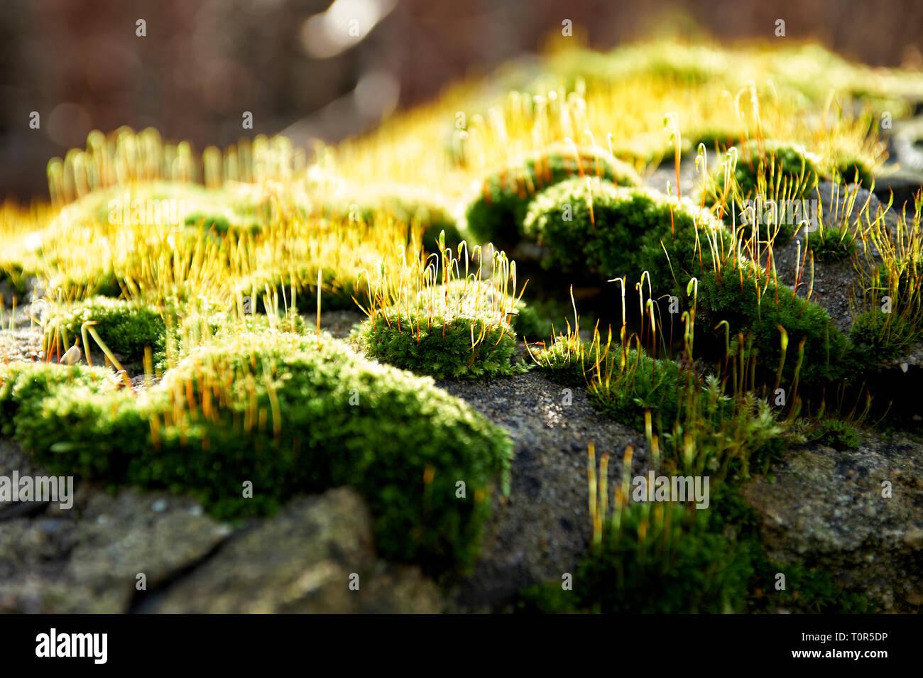 Nahaufnahme von Moos das von hinten von der Sonne beschienen wird auf einer Natursteinmauer. Stock Photo