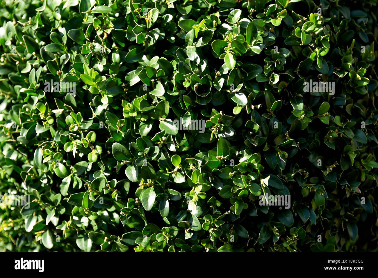 Eine gruene Hecke ist formatfuellend aufgnommen worden. Sie wird von der linken Seite her von der Sonne beleuchtet. - Stock Image