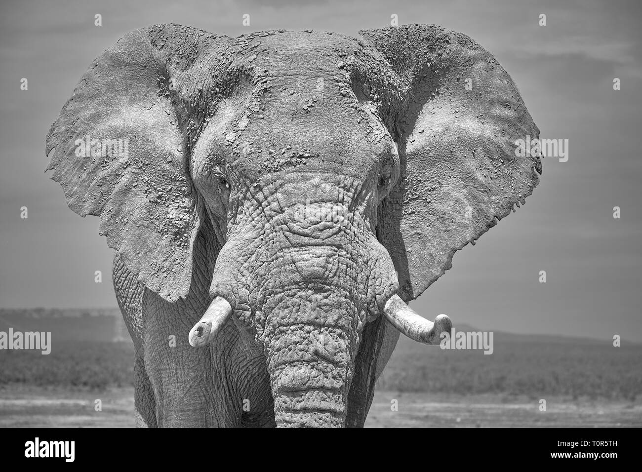 Black and White Face portrait of large African Elephant bull.  Head shot featuring ear face and large tusks Stock Photo
