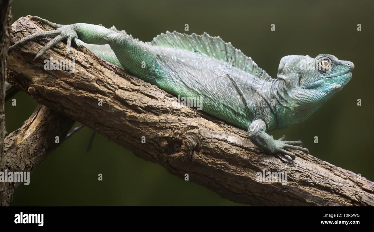 Close-up view of a Plumed basilisk (Basiliscus plumifrons) Stock Photo
