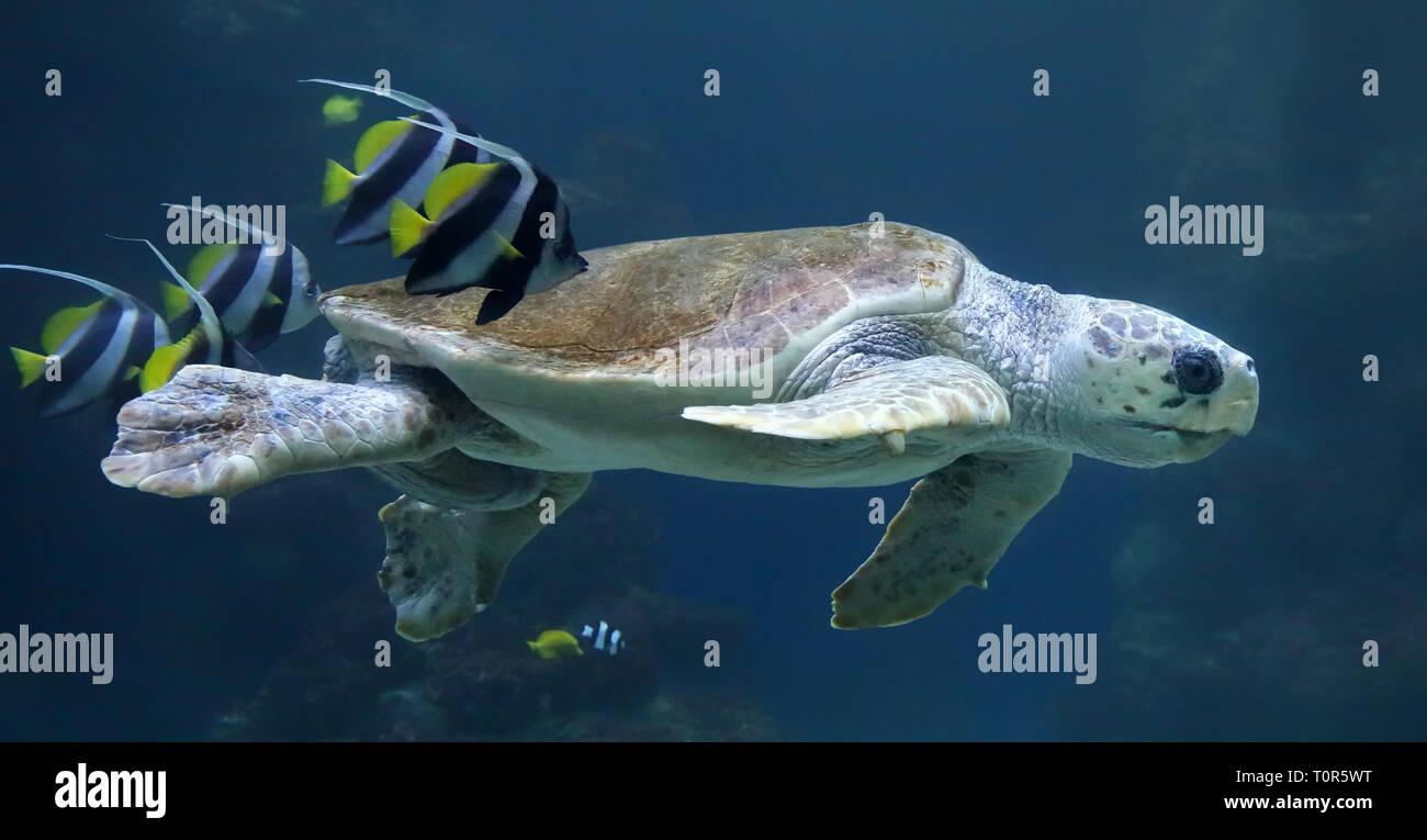 Diving Loggerhead sea turtle (Caretta caretta) Stock Photo
