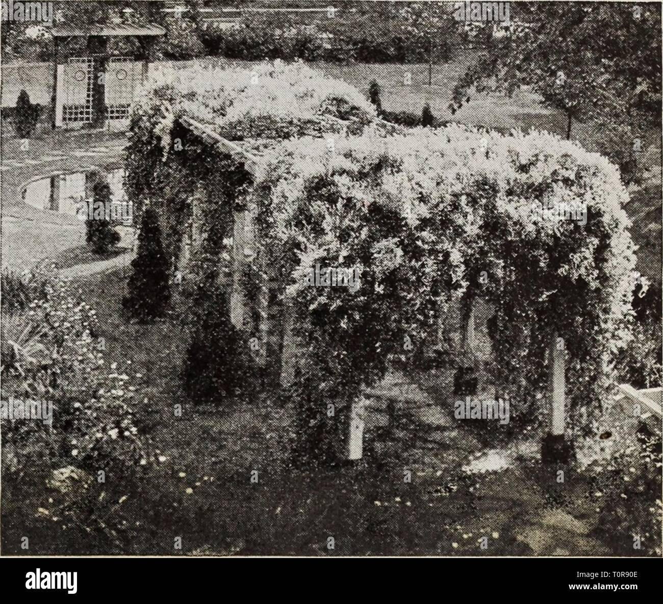 Dreer's bulbs plants, shrubs and Dreer's bulbs plants, shrubs and seeds for fall planting : autumn 1937  dreersbulbsplant1937henr Year: 1937  Clematis montana undulata Euonymus ® Radicans acutus. A strong-growing variety with long, narrow, dark green leaves veined with gray, excellent as a ground cover. coloratus. Same as above but with theleaves tinted purplish red particular- ly on the underside. — kewensis. A A variety with very small dark green foliage. A valuable plant for the rockery. — variegatus. A beautiful small-leaved green and white variegated form. — vegetus(Evergreen Bittersweet) - Stock Image