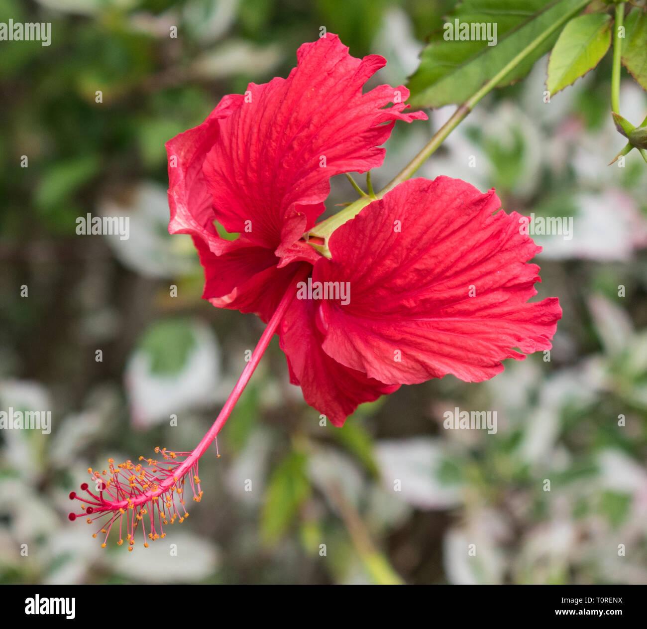 Long Stigma Flower Stock Photos Long Stigma Flower Stock Images