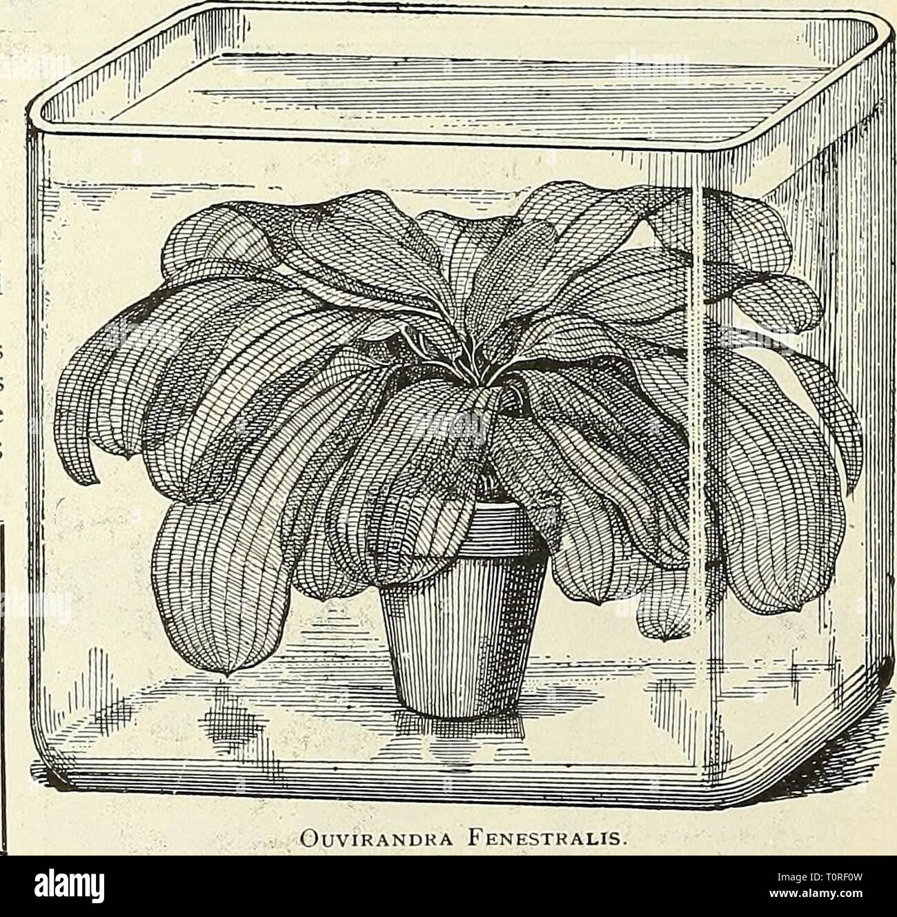 Dreer's garden book  1904 Dreer's garden book : 1904  dreersgardenbook1904henr Year: 1904  CvpERus Alternifolius. WATER LILIES AND AQUATICS AT THE Louisiana Purchase Exposition, St. Louis, 1904. We have been requested liy the managers of the Great St. Louis Exposition to make a display of the above,.and two large ponds have been set aside for our use. Those who visit St. Louis this year should not fail to see our exhibit, located between the Agricultural and Horticultural Buildings.    Ouvirandra Fenestralis, THE WATER GARDEN. A splendid book on Aquatics. Price, $2.00, postpaid. - Stock Image