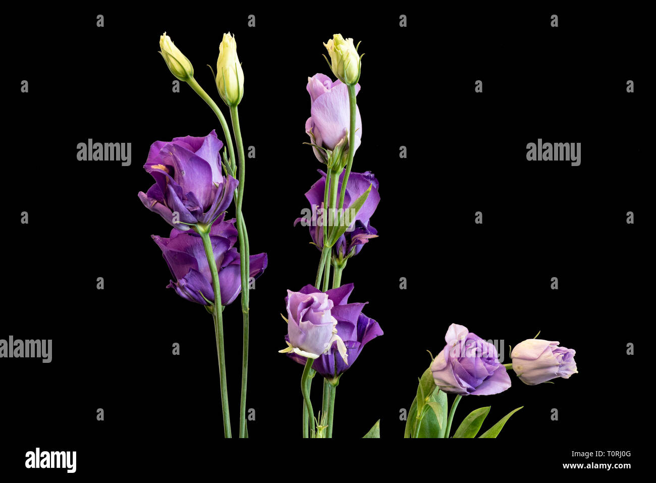 Fine art still life color macro of a bunch of violet blue lisianthus / showy prairie gentian / texas bluebell blossoms on black background - Stock Image