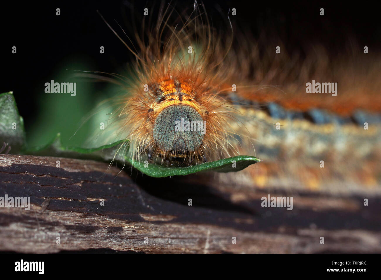 Caterpillar of a Malacosoma castrensis (ground lackey) close up. Large volotasy caterpillar sits on a sheet. - Stock Image