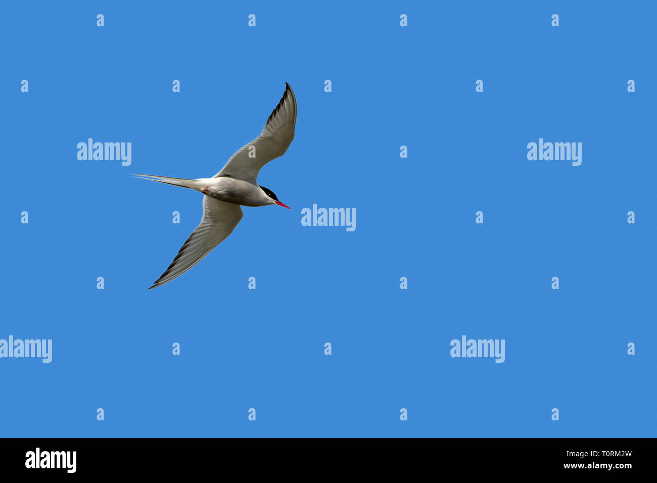 Arctic tern (Sterna paradisaea) in flight against blue sky - Stock Image