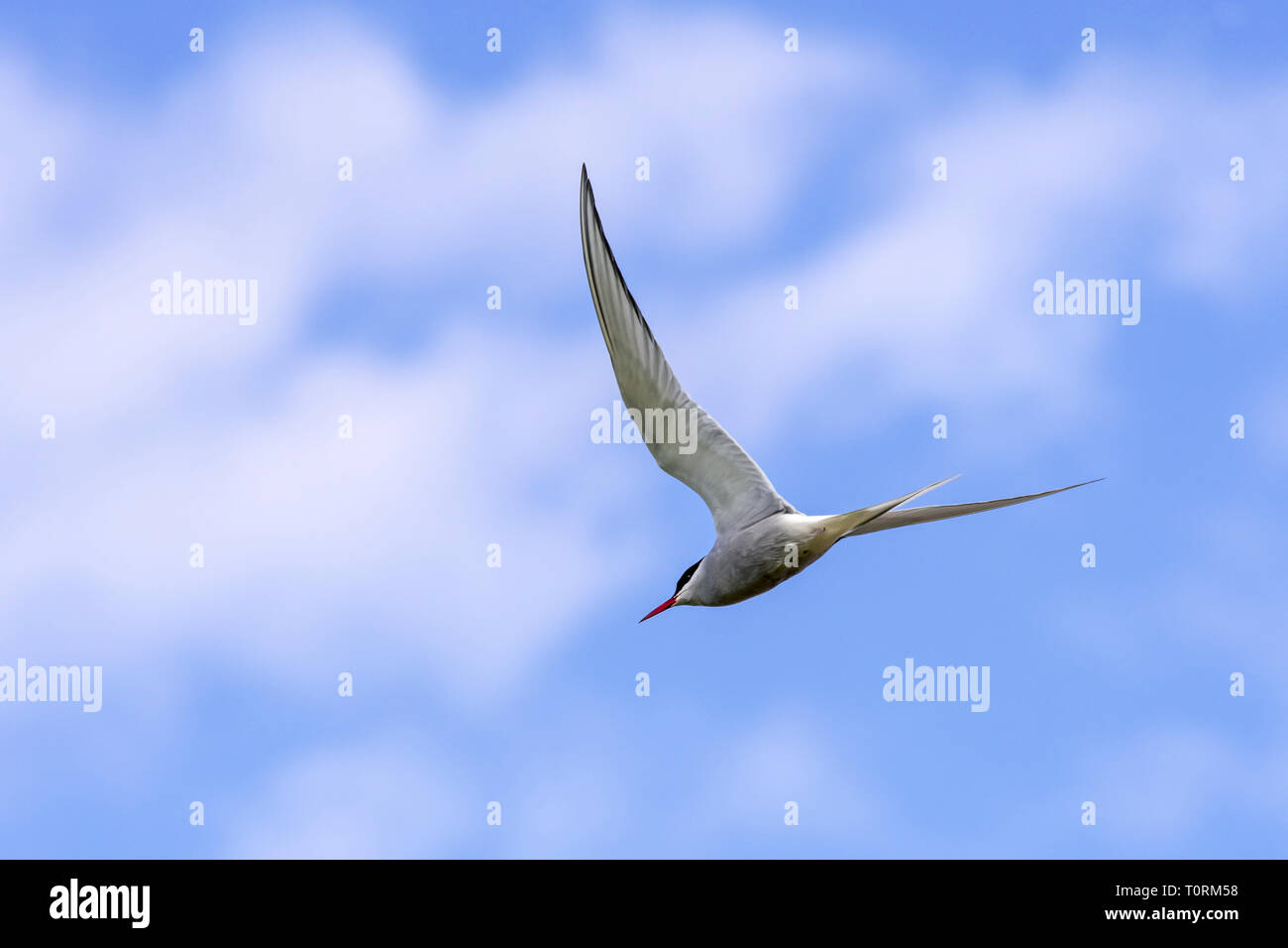 Arctic tern (Sterna paradisaea) in flight against cloudy sky - Stock Image
