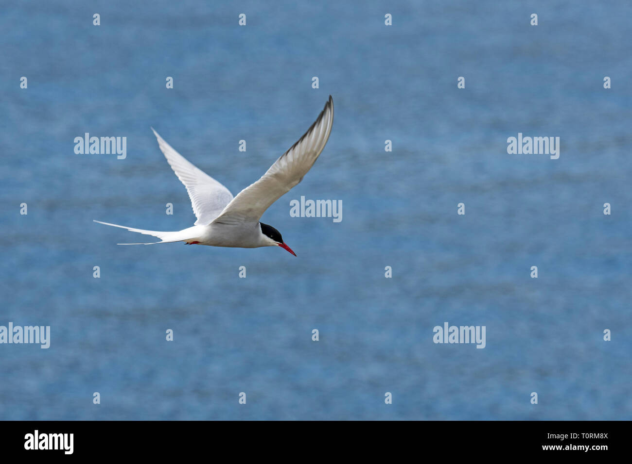 Arctic tern (Sterna paradisaea) flying over sea water / Atlantic Ocean - Stock Image