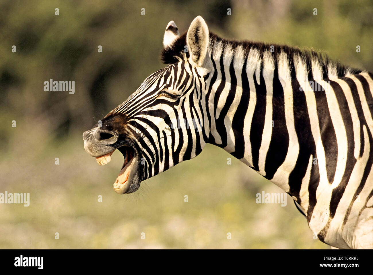 Africa, Namibia.  Grant's or Burchell's Zebra (Equus burchelli bohmi) naying loudly. - Stock Image