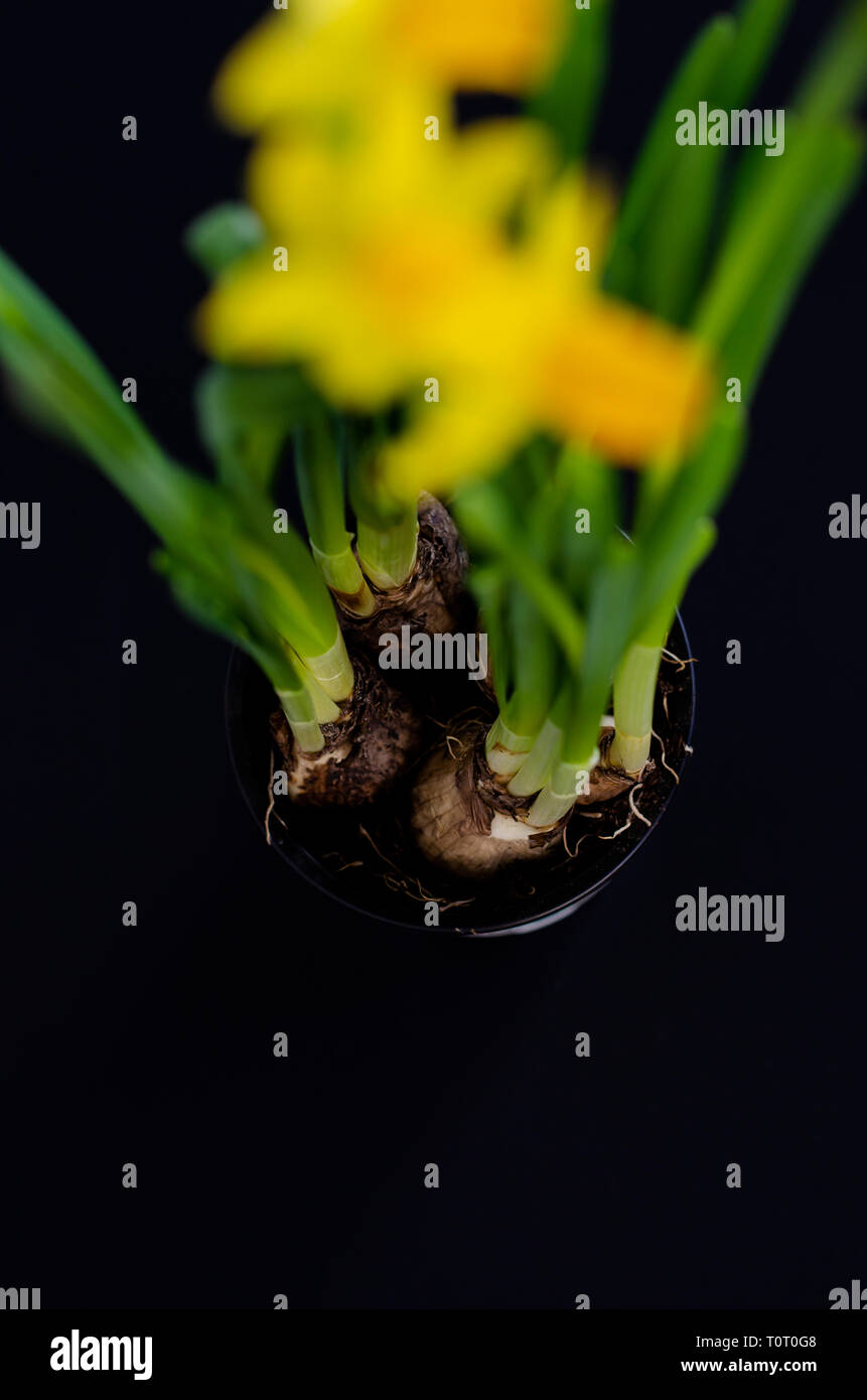 Bulbs of a narcissus flower. Copy space Stock Photo