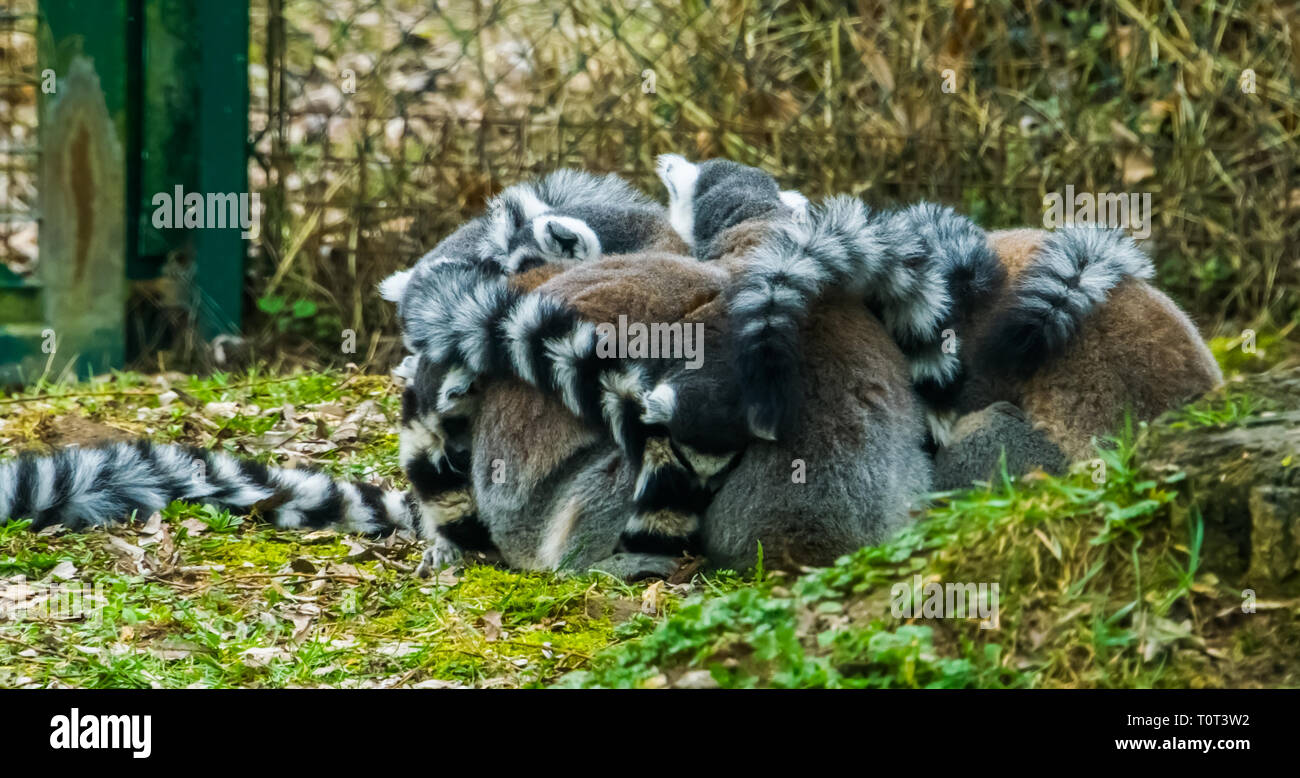 adorable family of ring tailed lemurs giving each other a group hug, animal behavior and close family - Stock Image