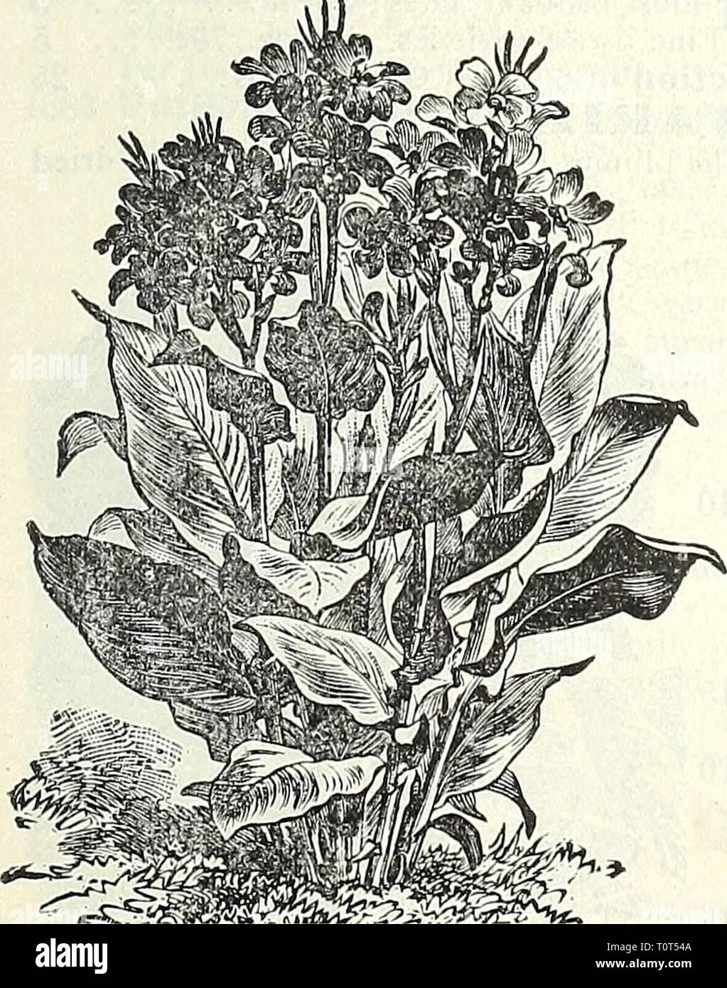 Dreer's garden book  1905 Dreer's garden book : 1905  dreersgardenbook1905henr Year: 1905  Canary-Bn<u Vine. Campanula Media Calycanthema (Cup and Saucer Canterbury Bells). Canary-Bird Vine. (Tropaeolum C'aiiariense.) PER PKT, 1741 A beautiful rapid annual climber, the charming liitle canary-colored blossoms bearing a fancied resem- I'lance to a bird with its wings half expanded. (See cut.) Per oz., 40 cts 5 Hardy Perennial Candytufts. (Iberis.) 1771 Gibraltarica Hybrida. Very fine species, while flowers, shading I., lilac 10 1772 Sempervirens. A profuse white blooming hardy perennial, comi - Stock Image
