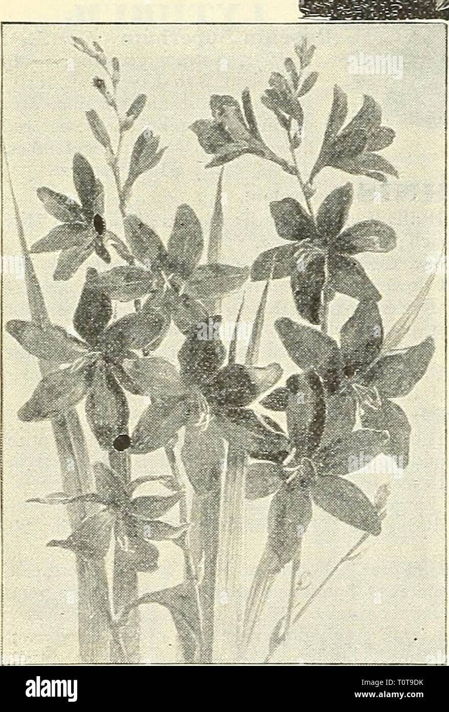 Dreer's garden book  1904 Dreer's garden book : 1904  dreersgardenbook1904henr Year: 1904  MEJ^THA Peppermint,. Piperita. The common Peppermint. 10 els. each ; §1.00 per cloz. — Variegata. A pretty variegated form; bright green foliage, bordered wilh white. 10 cts. each ; §1.00 per doz. MERTENSIA (Blue Bells). Virginica. An e^irly spring-fiouering plant, growing about 1 to 1 ^ feet high, wilh drooping panicles of handsome light blue flowers, fading to clear pink ; one of the most interesting of our native spring flowers ; May and June. 15 cts. each; SI.50 per doz. MEUM. Athamanticum. An intere - Stock Image