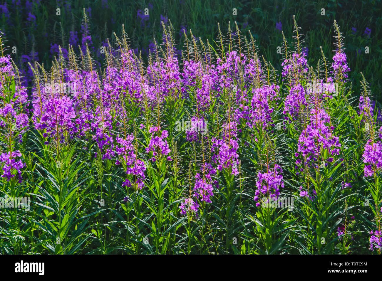 Big field of rosebay willowherb Chamerion angustifolium flowering with pink flowers Stock Photo