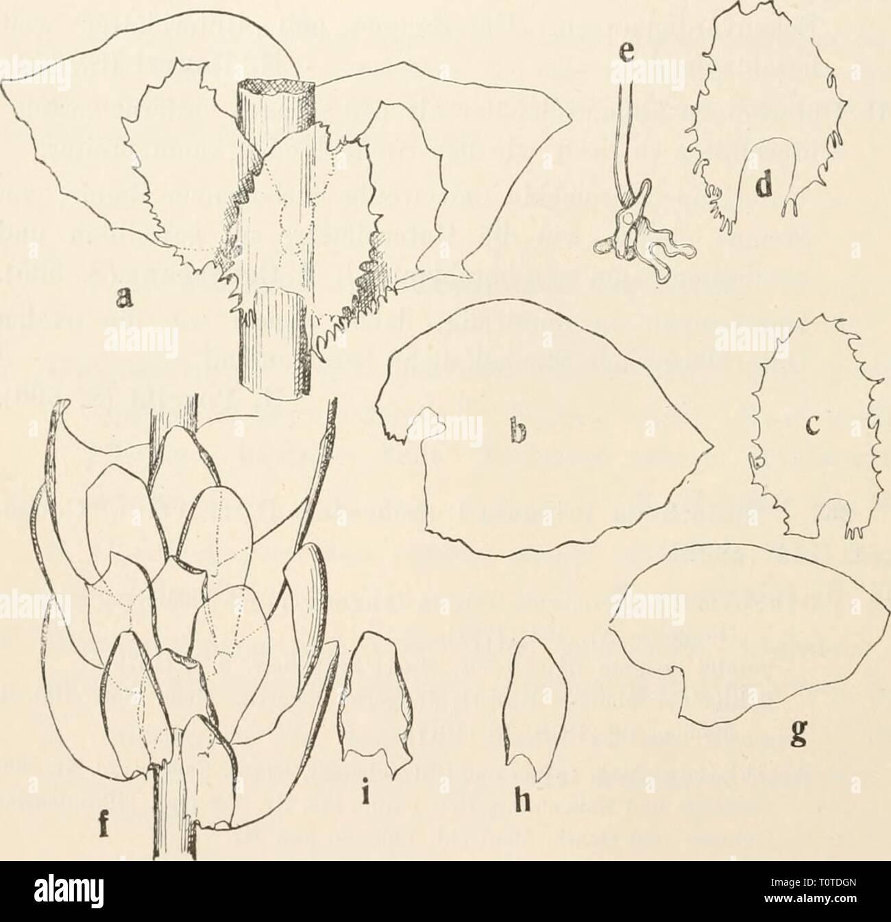 Dr L Rabenhorst's Kryptogamen-Flora von Dr. L. Rabenhorst's Kryptogamen-Flora von Deutschland, Oesterreich und der Schweiz  drlrabenhorstskr0602rabe Year: 1912  562 Madotheca. breit, reich verzweigt, oft ziemlich re.s^elmäßig fiederig, metallisch glänzend, beim Zerbeißen von pfefferartigem Geschmack. Stengel dicht schuppenartig beblättert, am Rande mit -i Reihen kleiner, derbwandiger Zellen. Blattoberlappen breit-eiförmig, 1,4 mm lang und am Grunde fast ebenso breit, stumpf oder zu- gespitzt, oft in ein Spitzchen auslaufend, konvex, mit dem oberen Rande den Stengel umfassend und darübergreifen Stock Photo