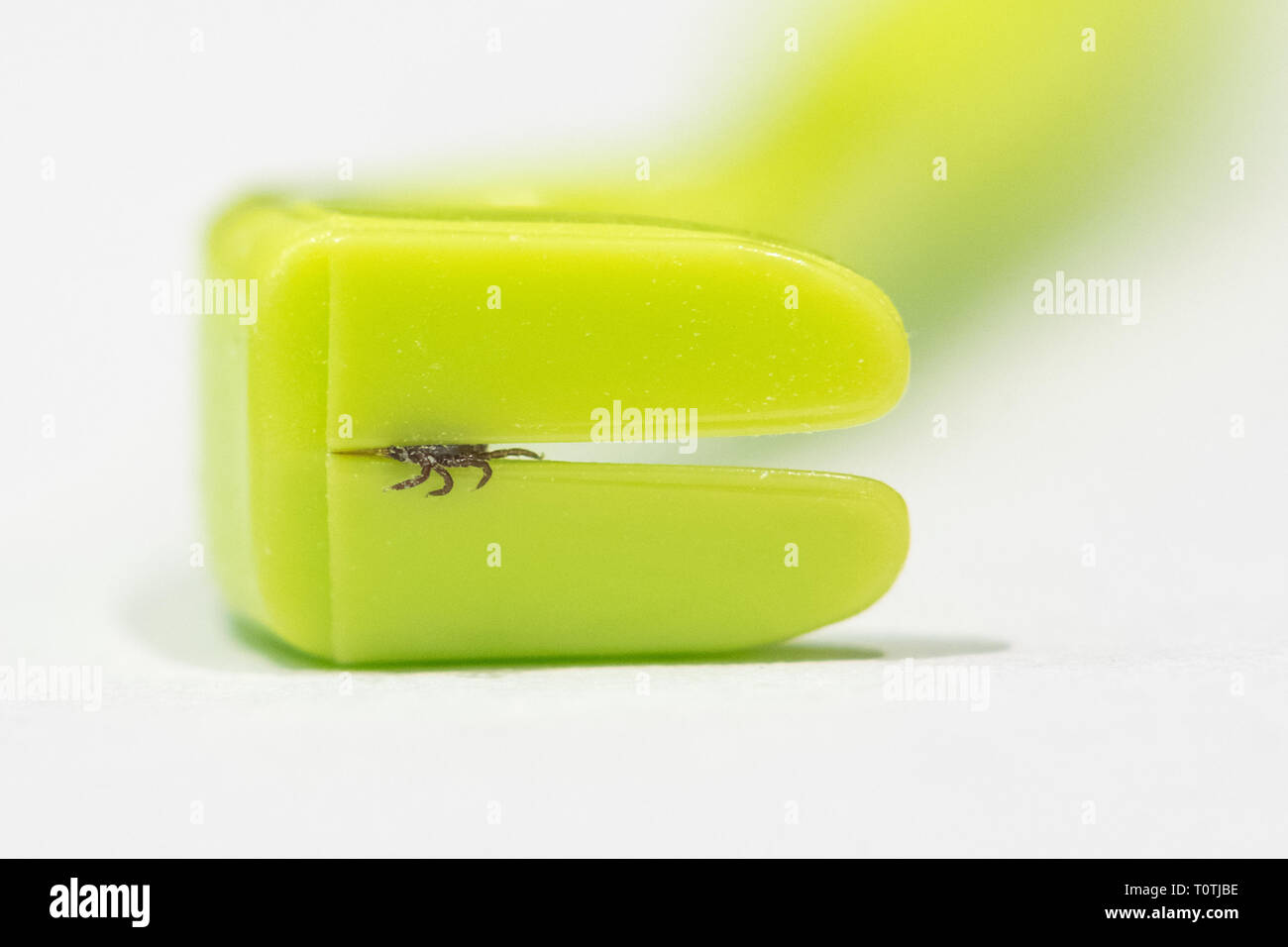 Tick remover tool - Tick Twister - with extracted sheep tick, after being removed from human skin, Scotland, UK - Stock Image