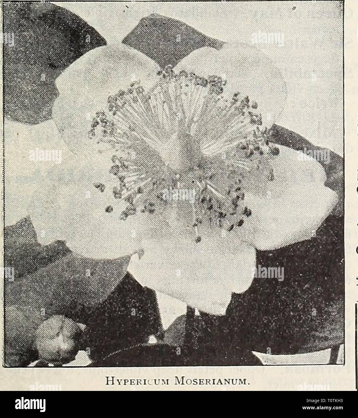 Dreer's 1907 garden book (1907) Dreer's 1907 garden book  dreers1907garden1907henr Year: 1907  Hollyhocks.    LNCARVIILXBA (Hardy Gloxinia). Delavayi. A new hardy tuberous-rooted plant, and one of the choicest perennial plants introduced in recent years. It produces large, gloxinia- like rose-colored flowers, which last in perfection a long time; these are produced in cluste. on stems 18 inches high ; should be protected with a covering of leaves during the winter. 25 cts each ; $2.50 per doz. INULA (Flea Bane). Britannica. A vigorous-growing variety, about 2 feet high ; producing from July to - Stock Image