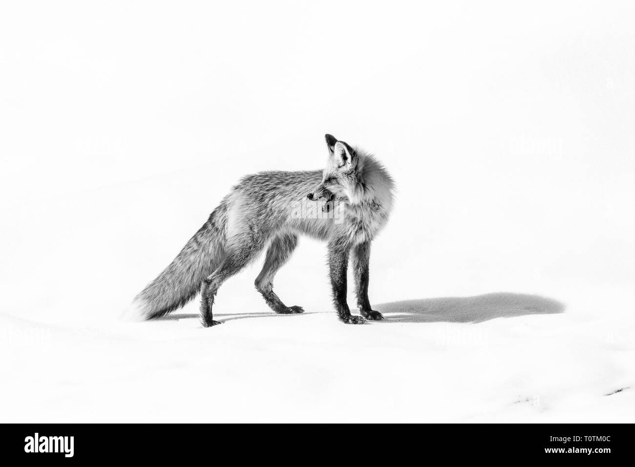 black and white portrait of a red fox on snow looking backwards over his shoulder with ears perked listening intently for his next meal - Stock Image