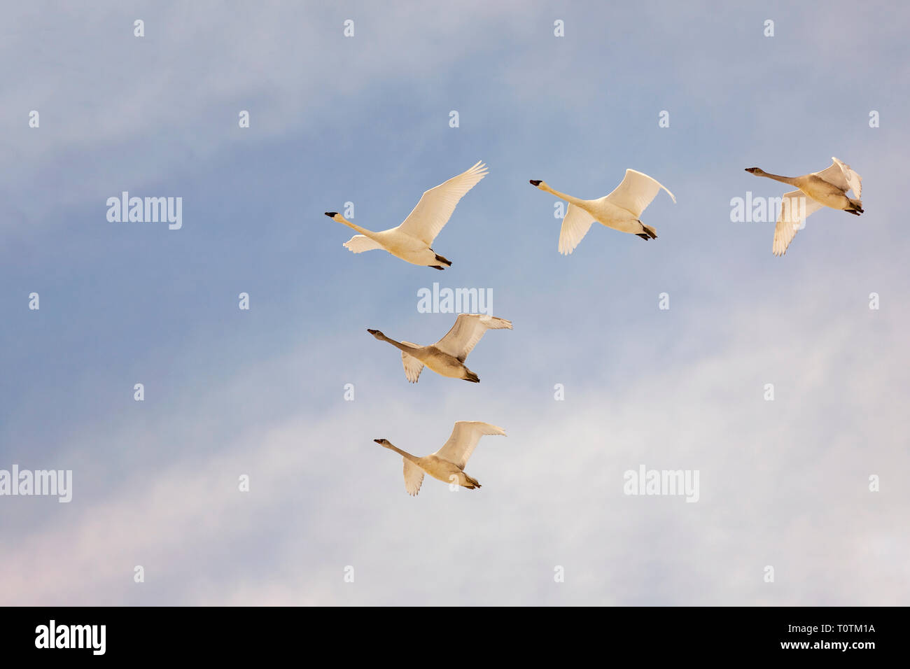 Trumpeter swans flying together in a V formation with a beautiful blue and cloudy sky - Stock Image