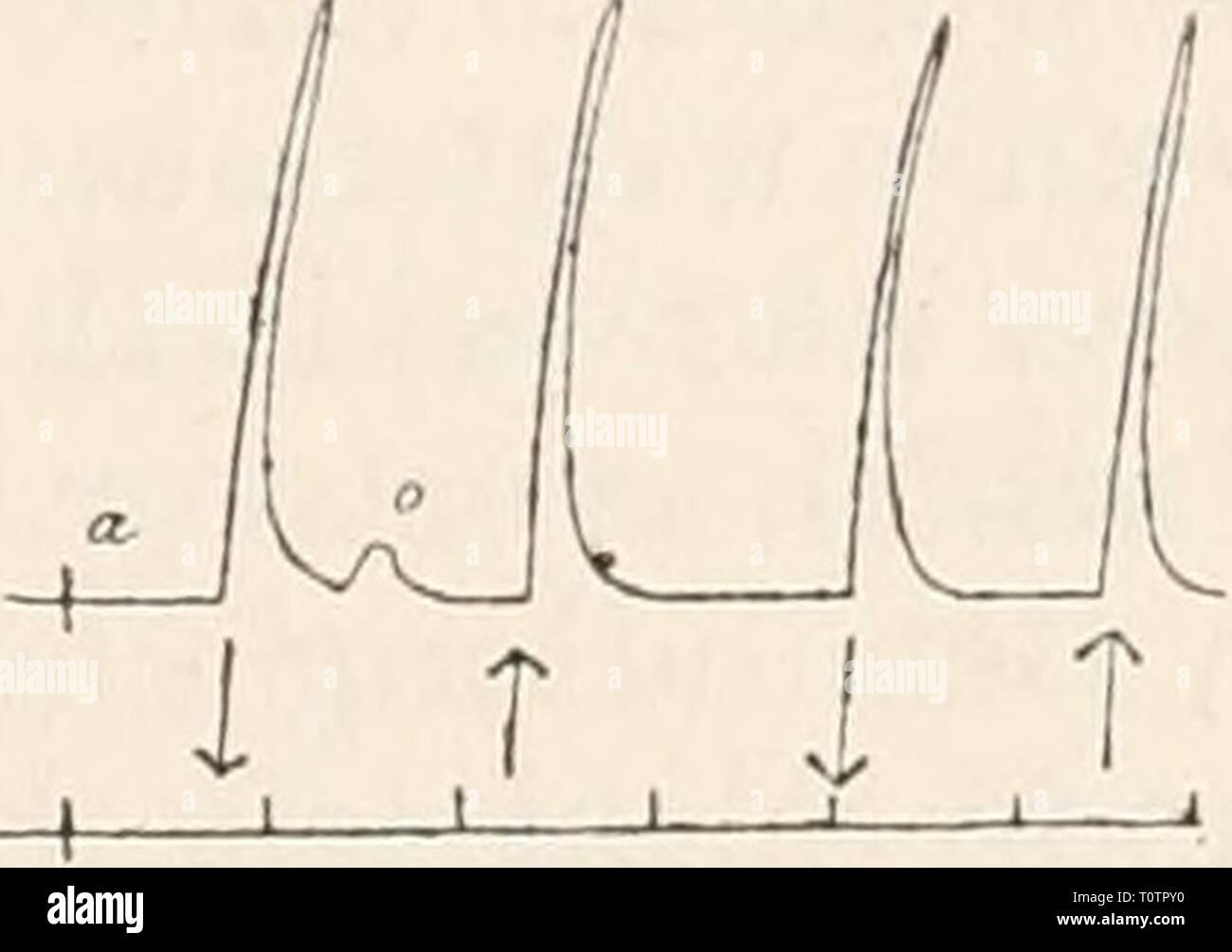 Elektrophysiologie (1895) Elektrophysiologie  elektrophysiolog00bied Year: 1895  i T 1 T I T Fig. 194. Nerv-Muskelpräparat vom Frosch. Ein schwacher aufsteigend oder absteigend gerichteter Strom löst bei beliebiger Lage der Elektroden nur Schliessungszuckung aus (b). Nach 5 Min. dauerndem Eintauchen des Nerven in 1 '/o KNOg-Lösung er- scheint die Erregbarkeit herabgesetzt. Gleichwohl löst derselbe Strom an allen Punkten der veränderten Nerveustrecke auch Oetfiiungszuckungen von gleicher Höhe wie die Schliessungszuckungen aus (c, d). Durch Auslaugen mit physiologischer Koch- salzlösung (15 Min. Stock Photo