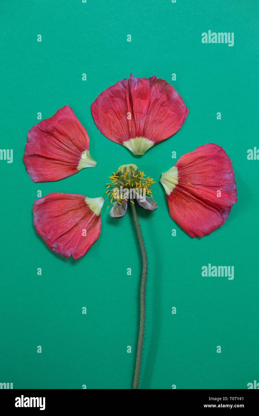 A deconstructed poppy flower. - Stock Image
