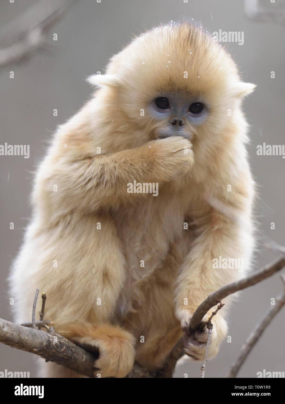 Cute baby Golden Snub-nosed Monkey (Rhinopithecus roxellana) - Stock Image