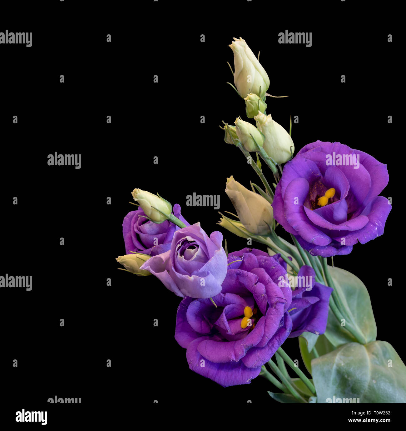 Fine art still life color macro of a bunch of violet blue lisianthus / showy prairie gentian / texas bluebell blossoms on black background with detail - Stock Image