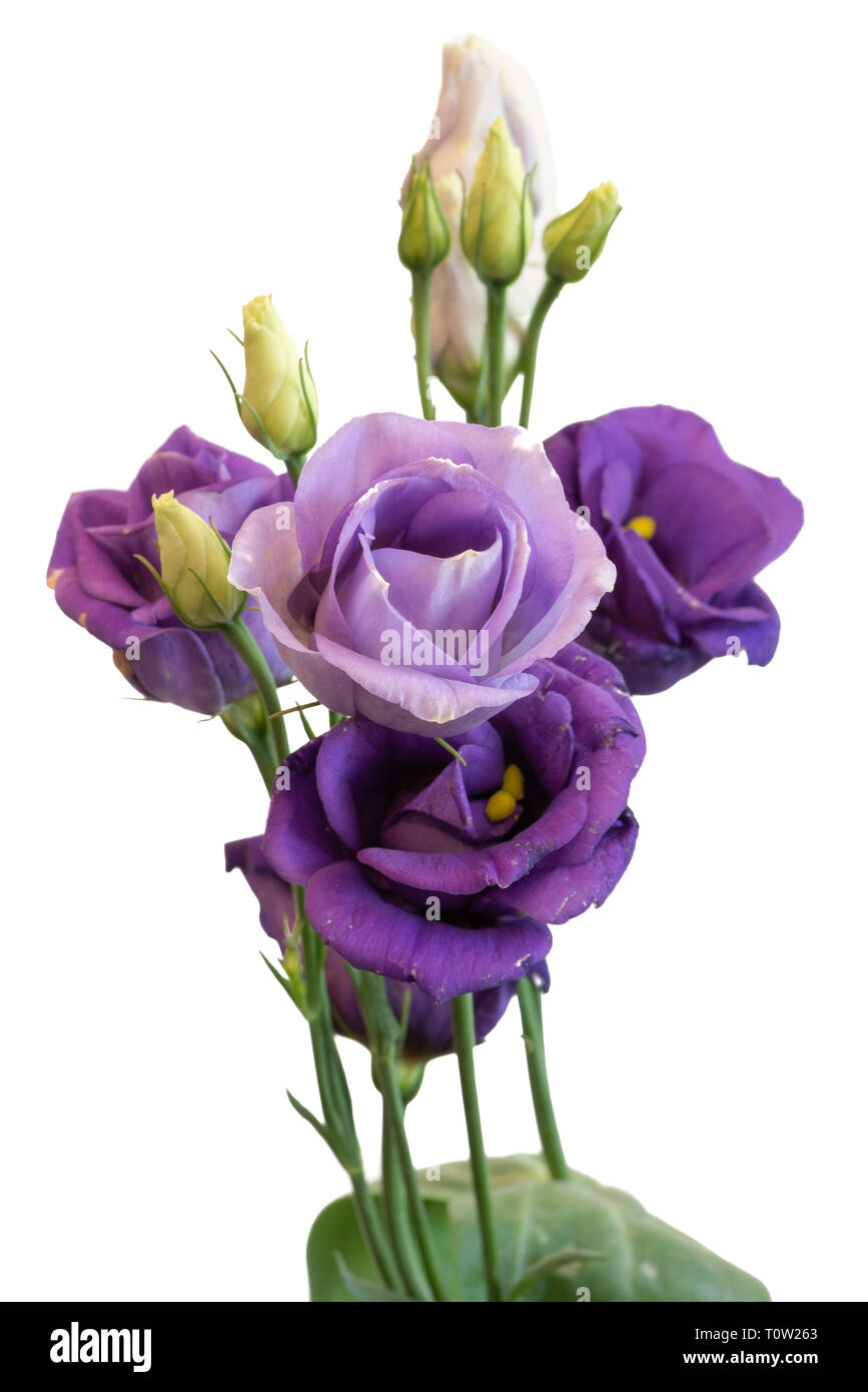 Fine art still life color macro of a bunch of violet blue lisianthus / showy prairie gentian / texas bluebell blossoms on white background - Stock Image