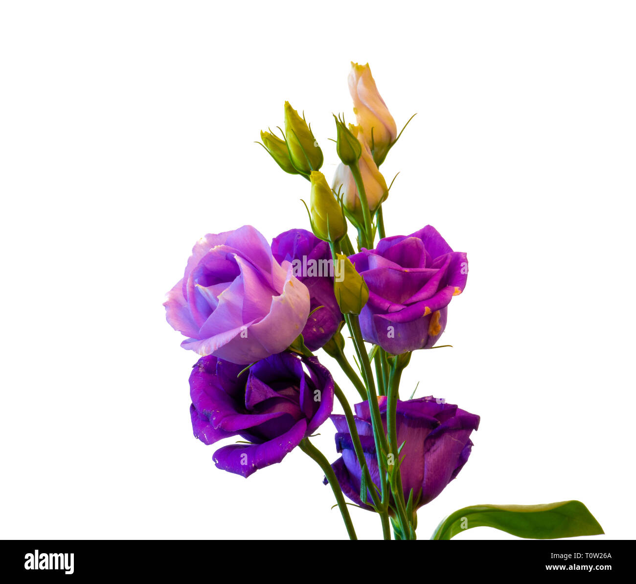 Fine art still life colorful macro of a bunch of violet blue lisianthus / showy prairie gentian / texas bluebell blossoms on white background - Stock Image