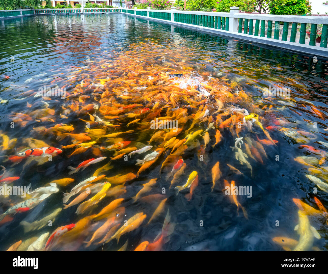 Colorful koi carp or fancy carp fish group in pond. - Stock Image