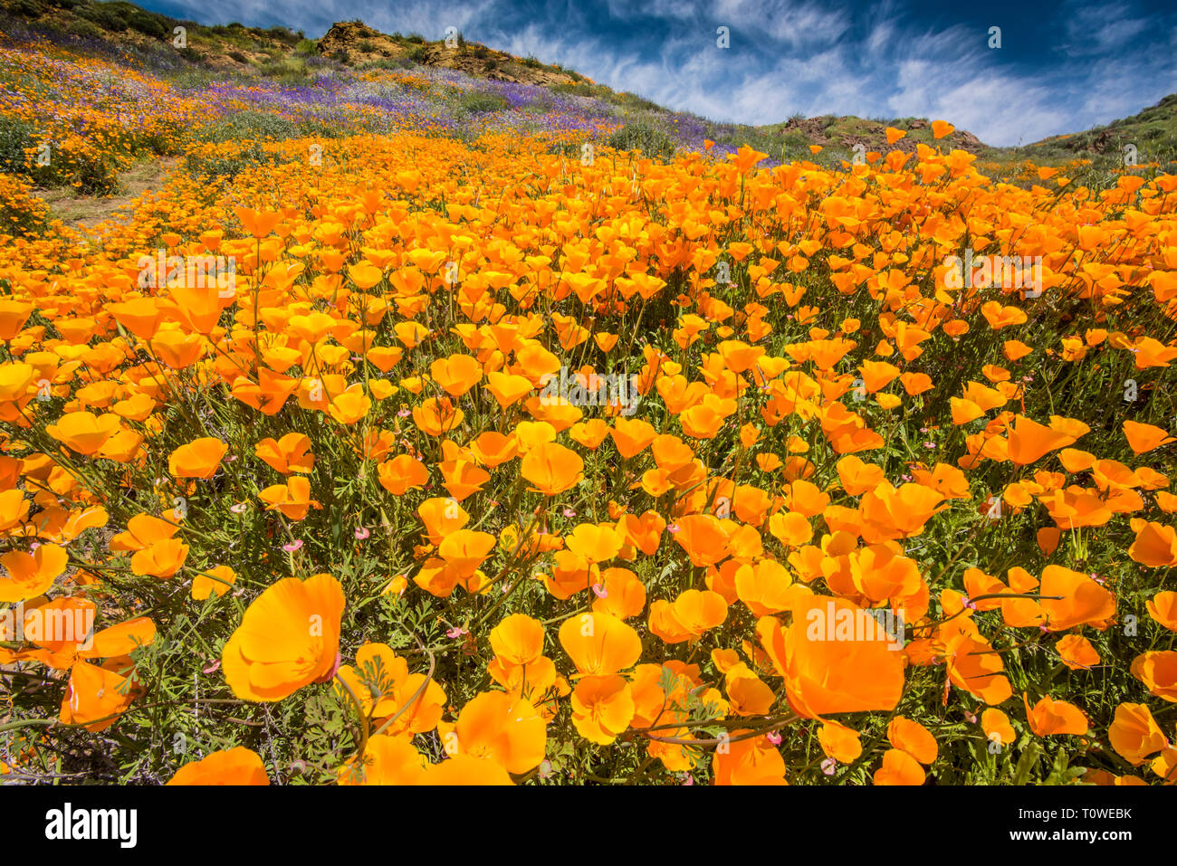 Super Bloom of poppies and other wildflowers at Lake Elsinore, California, USA March, 2019 Stock Photo