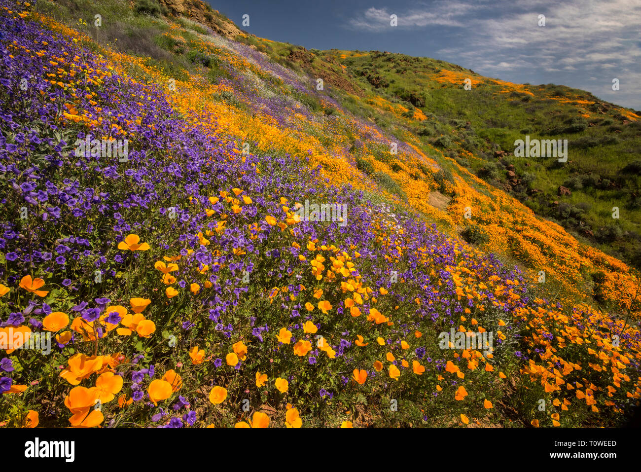 Super Bloom of poppies and other wildflowers at Lake Elsinore, California, USA March, 2019 - Stock Image