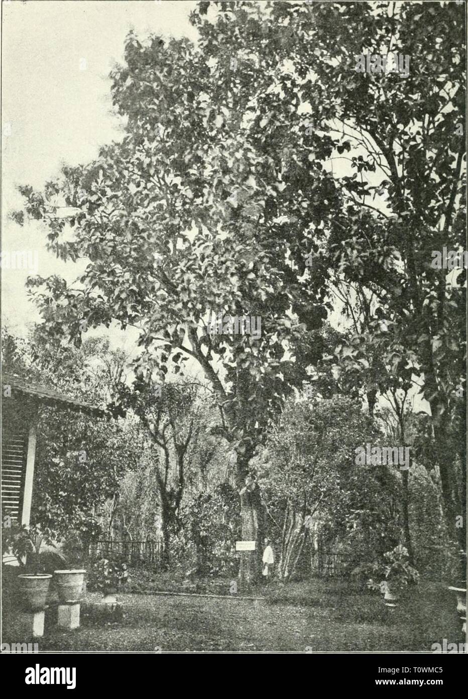 Dr KW van Gorkom's Oost-Indische Dr. K.W. van Gorkom's Oost-Indische cultures. Opnieuw uitg. onder redactie van H.C. Prinsen Geerligs. [Door J.P. van der Stock et al.]  drkwvangorkomsoo03gorkuoft Year: 1917  Fig. 259. Djatiboom staande in 's Lands Plantentuin te Buitenzorg. - Stock Image