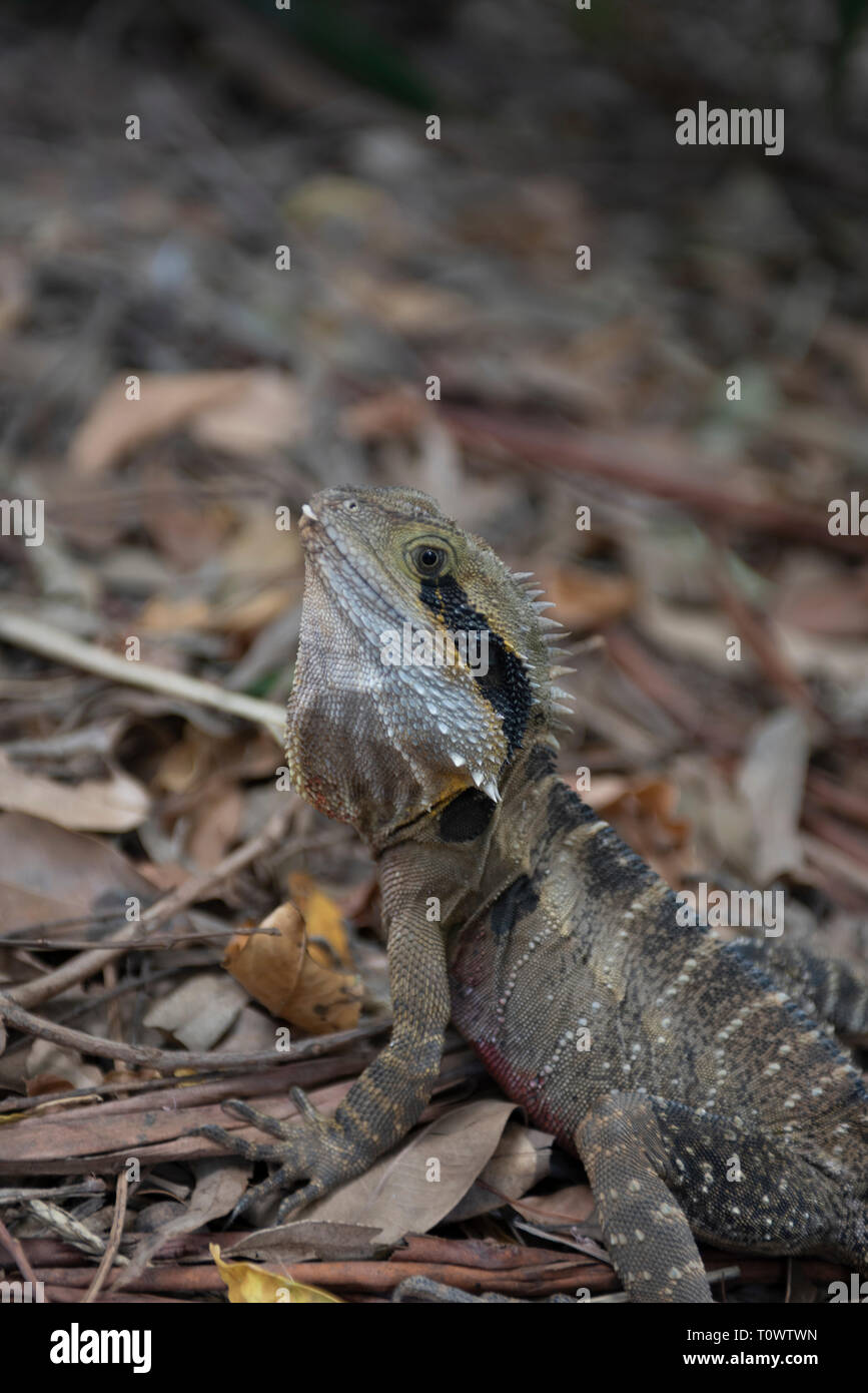 Eastern Water Dragon, Knockrow, New South Wales, Australia - Stock Image