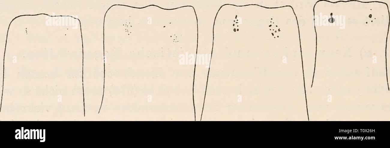 Dr HG Bronn's Klassen und Dr. H.G. Bronn's Klassen und Ordnungen des Thier-Reichs : wissenschaftlich dargestellt in Wort und Bild  drhgbronnsklasse040102bron Year: 1912  3306 Stande waren, ein normales Individuum zu bilden, sondern nach vorn statt eines Eumpfes und Kopfes einen zweiten Schwanz regenerierten (Fig. 216). Fig. 212.    Verschiedene Stadien von Augenauflösuug bei Dendrocoelum lacteum ala Folge von Hunger uach Berninger (1377). Diese ersten, grundlegenden Experimente wurden später variiert und das Problem in einzelnen Punkten erweitert durch Keiller (1380) und Lang (1437). Keiller s Stock Photo