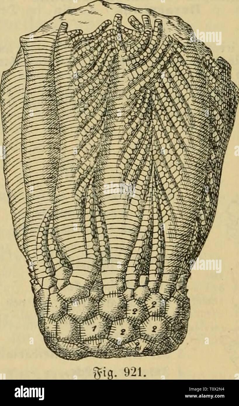 Dr Johannes Leunis Synopsis der Dr. Johannes Leunis Synopsis der thierkunde. Ein handbuch für höhere lehranstalten und für alle, welche sich wissenschaftlich mit der naturgeschichte der thiere beschäftigen wollen  drjohannesleuni02leun Year: 1883  9. Sf. ITIelOCrlniflaeV. j^elc^ unregelmäSig, monoct)cti (^; 4 S8afal=, 3x5 9tabial= unb ja^Ireitije 3nter« rabtalftücfe; 2:äfelcften ber tett^becfe ttein, bid unb jaljtreic^. öauptgattung: Meloerliiiis V Goldf., im c6eren iiur unb a^econ tjon Suropa unb yjorbamerifa; baju gefrört aU Unter= gattung CtenocrInusV Bronn, wdd)i fiä) befonberS im ®ijirifc - Stock Image