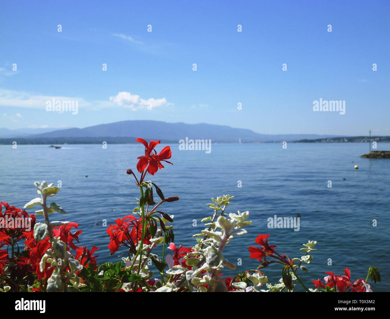 Geraniums on the shore of Lake Leman - Alps mountains in background - Stock Image