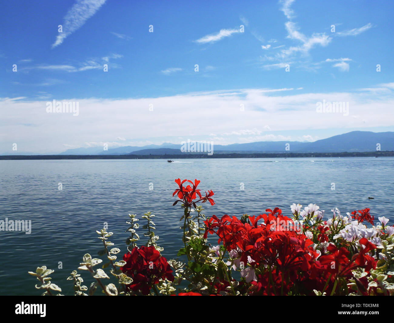 Sunny day on Lake Leman and Geraniums - Alps mountains in background - Stock Image