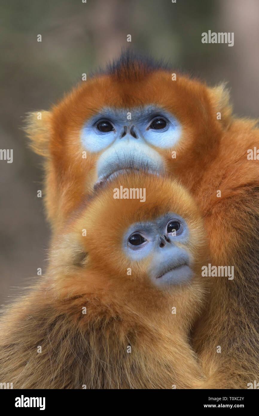 Mother and baby Golden Snub-nosed Monkey (Rhinopithecus roxellana) - Stock Image