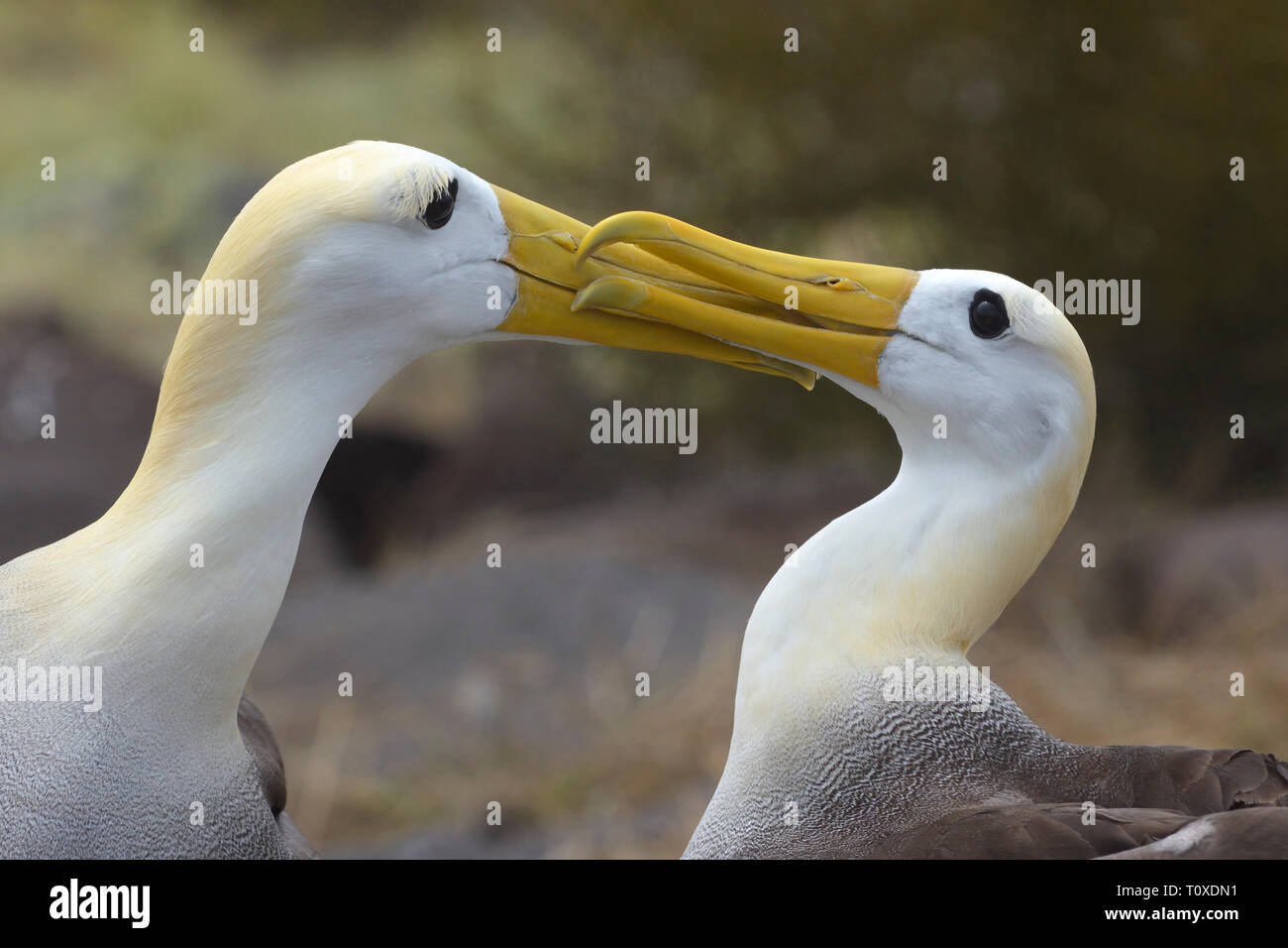 A pair of Waved Albatrosses (Phoebastria irrorate) courting - Stock Image