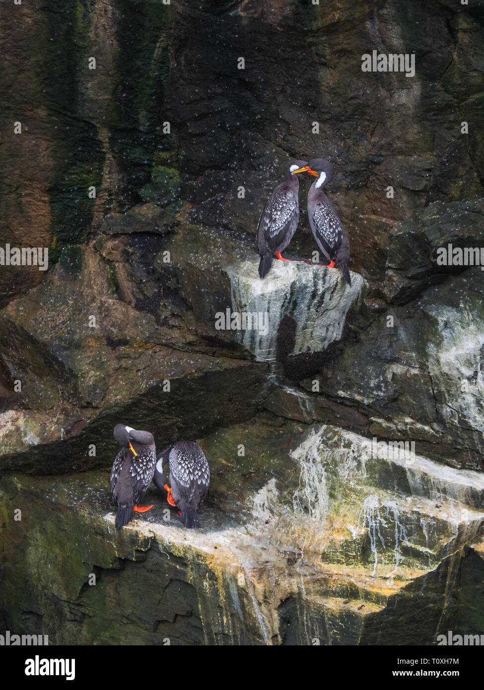 Couples of Lille cormorant in a cliff, Humboldt Penguin National Park in Punta de Choros, Chile. La Serena Stock Photo