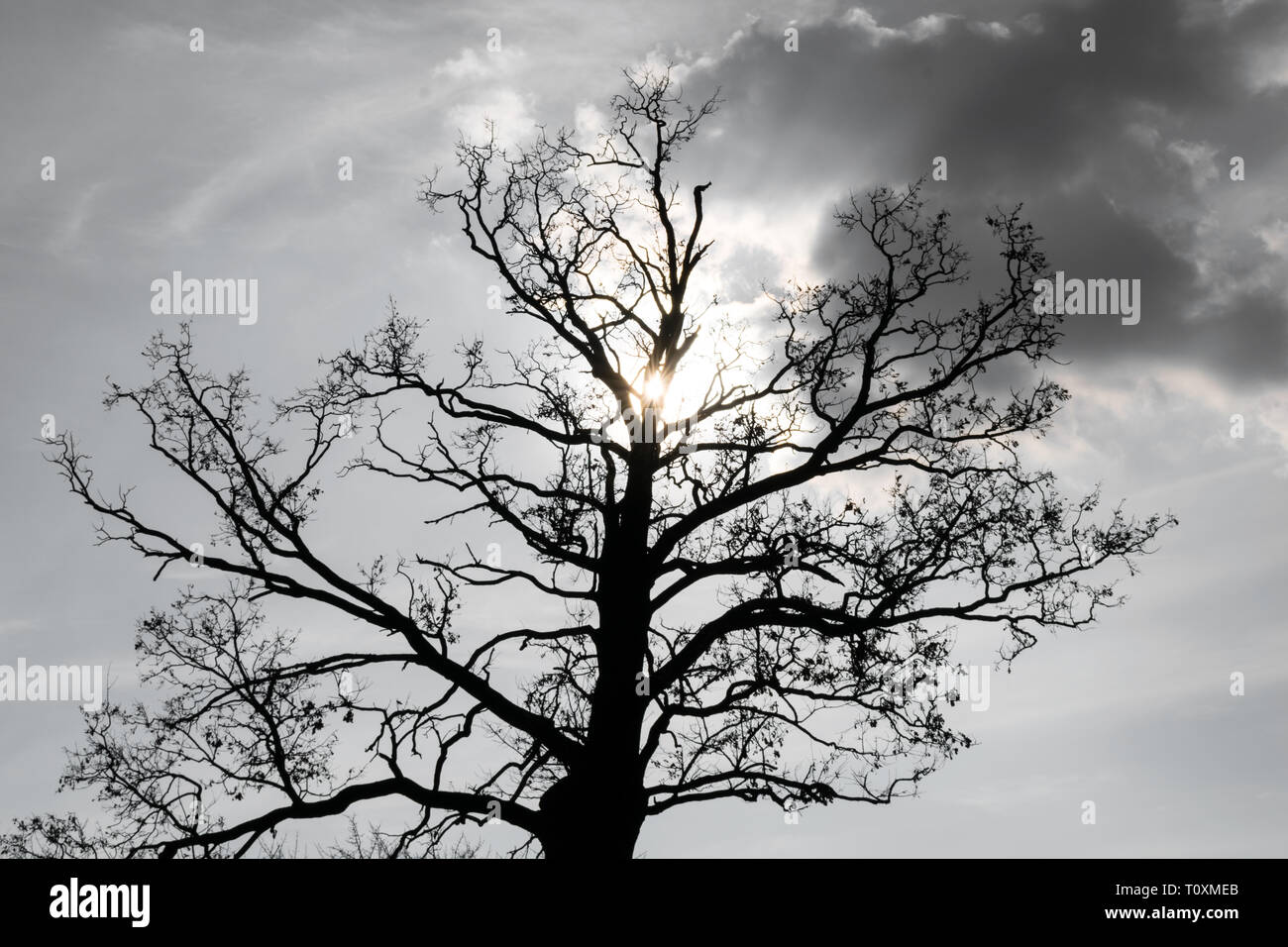 Silhouette of a big oak tree against sun - Stock Image