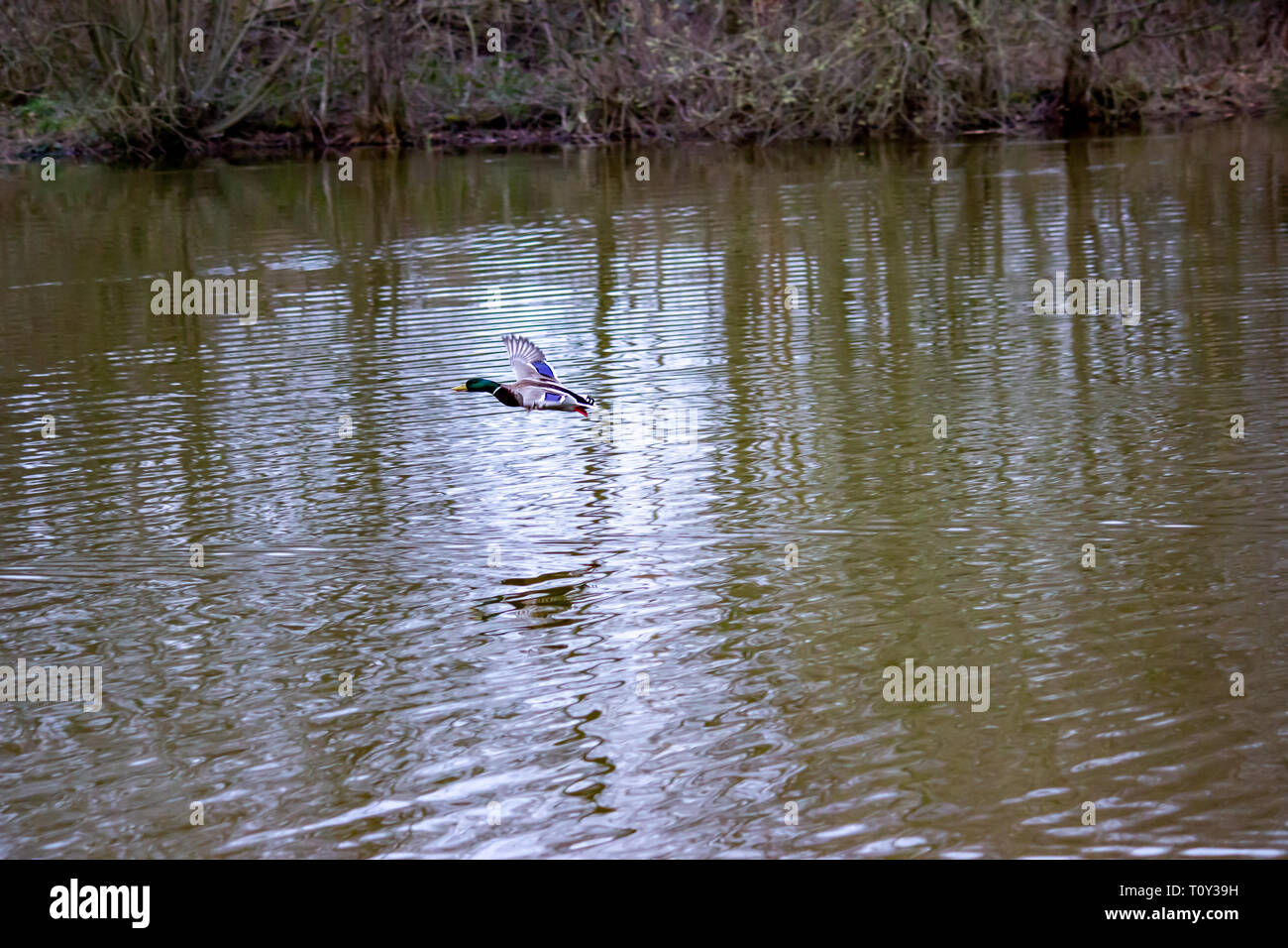 Wild ducks are just taking off from a lake in public park in Wilmslow, Cheshire - Stock Image