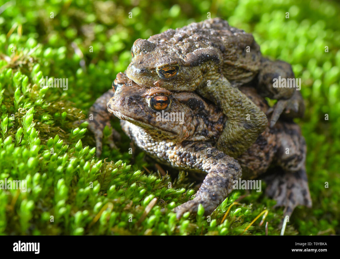 22 March 2019, Brandenburg, Sauen: A pair of earth toads (Bufo bufo) crawls over moss on the edge of a small pond in the forest of the August Beer Foundation. Due to the mild spring weather, the toads' migration to their light waters is in full swing. Photo: Patrick Pleul/dpa-Zentralbild/dpa - Stock Image