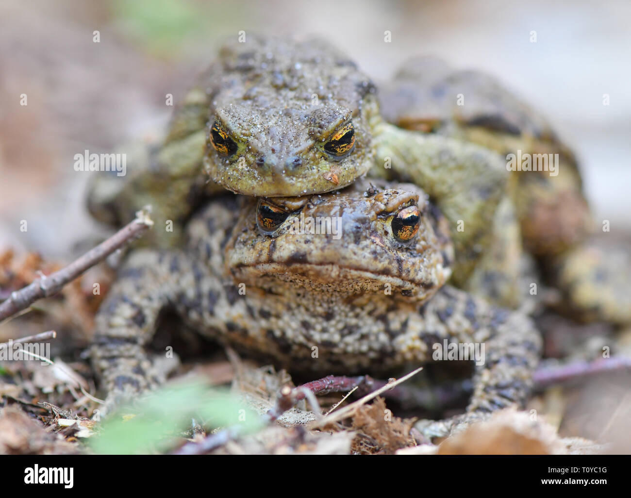 Sauen, Germany. 22nd Mar, 2019. A pair of earth toads (Bufo bufo) crawls across the ground at the edge of a small pond in the forest of the August Beer Foundation. Due to the mild spring weather, the toads' migration to their light waters is in full swing. Credit: Patrick Pleul/dpa-Zentralbild/dpa/Alamy Live News - Stock Image